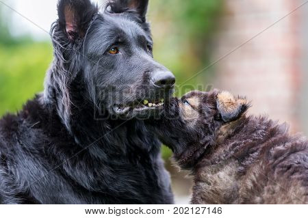 Old German Shepherd Mother Dog With Her Puppy