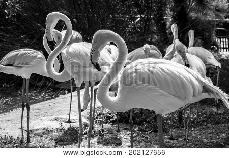Greater flamingoes on black and white. Phoenicopterus roseus