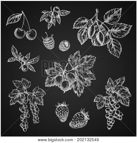 Berries chalk sketch isolated icons on chalkboard. Vector set of cherry, strawberry or raspberry and gooseberry, farm harvest berry blueberry or blackberry, red or black currant and cranberry