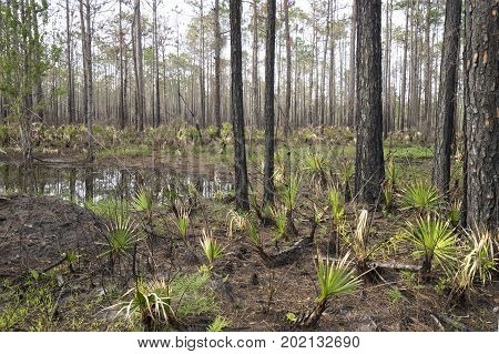 Wetland woods at Tarkiln Bayou Preserve State Park nature preserve. Landscape shows slash pines and saw palmetto.