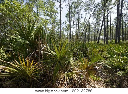 Saw Palmetto plants carpet Slash pine forest floor at Tarkiln Bayou Preserve State Park.