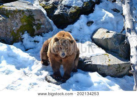 A big brown bear playing in Alaskas wilderness