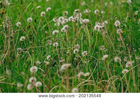 Air Dandelions On A Green Field.