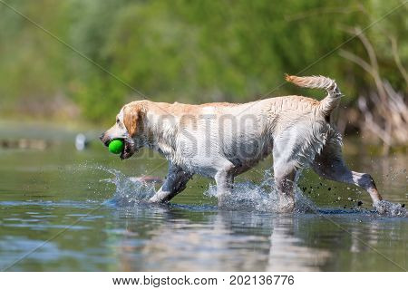Labrador Retriever Walks With A Toy In The Snout In A Lake