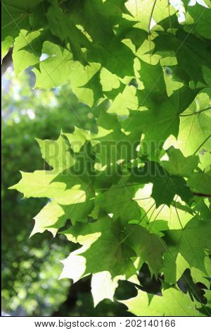 Leaves and branches of tree against the sky and sun
