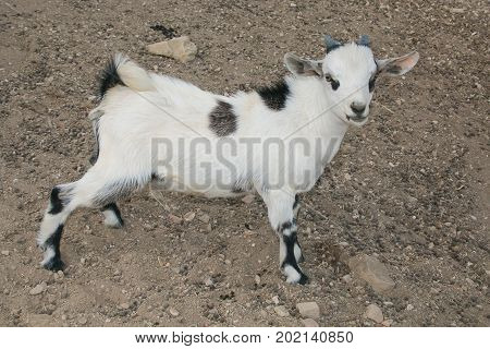 Profile of baby dwarf tibetan goat in the farm