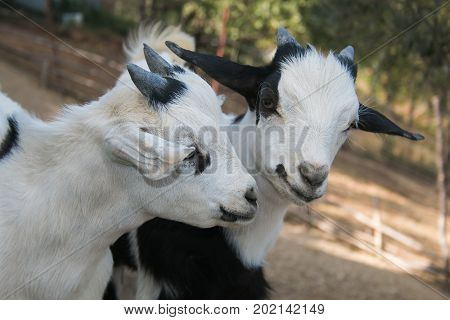 Photo of Two baby dwarf tibetan goats