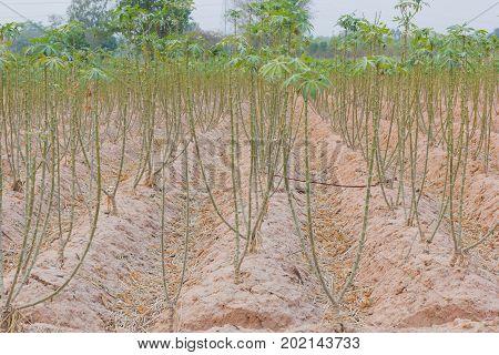 poster of cassava plantation in the field Thailandม background