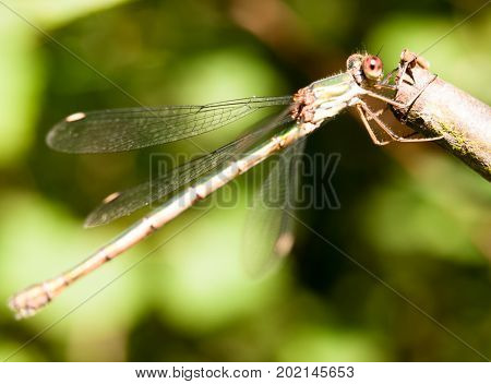 Close Up Macro Of Willow Emerald Damselfly Chalcolestes Viridis