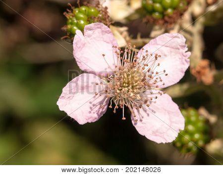 Close Up Of Pink Bramble Flower Head Rubus Fruticosus