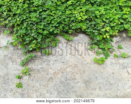 Tiny green leaves on the concrete wall. Picture with copy space.