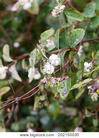 Close Up Of Snowberry (symphoricarpos Albus) On Branch Uk