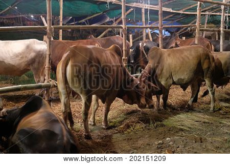 Dhaka, bangladesh, august 2017-a group of colourful cow is displayed for upcomming mulim eid ul adha festival located at aftab nagar cow market in dhaka in bangladesh taken on 30, august 2017