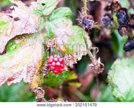 Close Up Red Blackberry Bramble Rubus Fruticosus