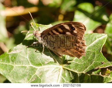 Close Up Speckled Wood Butterfly On Leaf Resting Pararge Aegeria