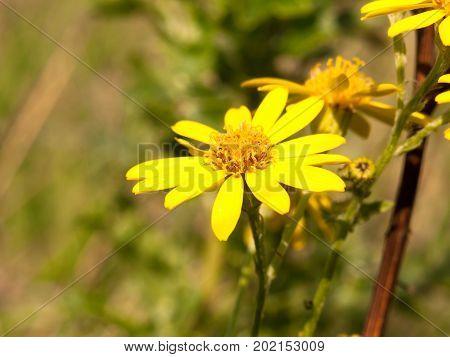 Close Up Yellow Petals Single Of Ragwort Senecio Squalidus