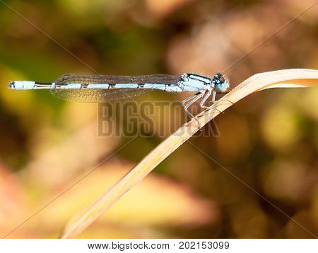 Common Blue Damselfly Enallagma Cyathigerum Seen From Side On Reed