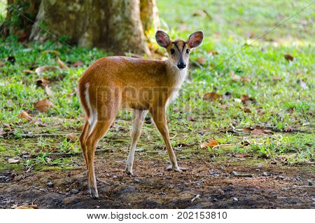 Little Common muntjac looking for food. Muntjacs, also known as barking deer and Mastreani deer, are small deer of the genus Muntiacus.