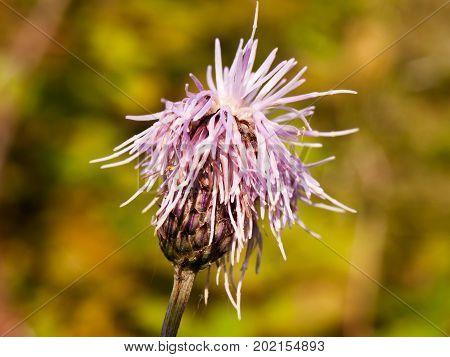 Pink Milk Thistle Flower Head Close Up Silybum Marianum