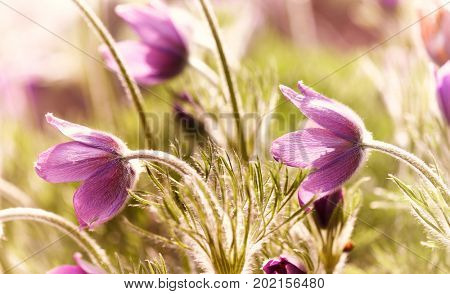 Spring Pasque Flowers