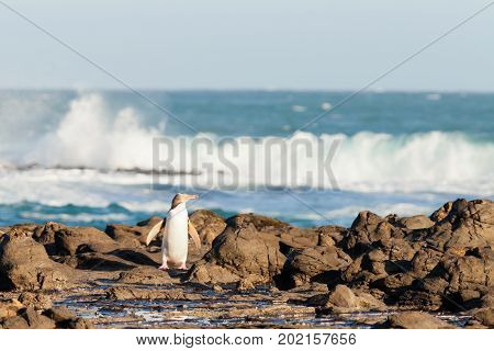 Adult native New Zealand Yellow-eyed Penguin Megadyptes antipodes or Hoiho emerged from South Pacific Ocean surf coming home to nest over rocky shore to feed young