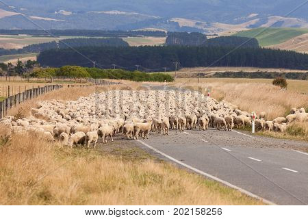 Flock of woolly sheep crossing country road to access another field in New Zealand NZ