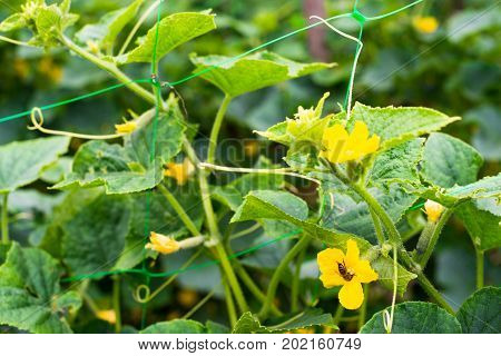 Cucumber yellow flowers with pollinating bee. Close up.