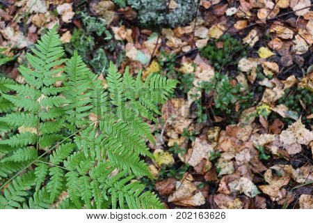 Green Fern In The Autumn Forest Among Yellow Fallen Leaves