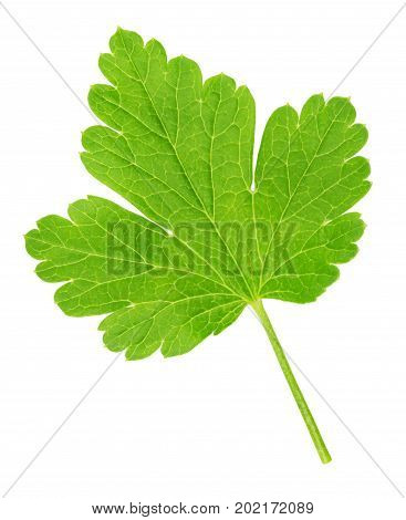 Gooseberry leaf isolated on a white background