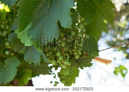 Grapes on the Vine, Mendoza Province, Argentina