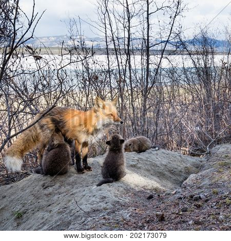 Red Fox Vixen Nursing Her Youngs At Den Site