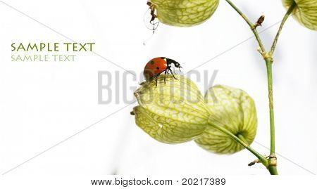 lovely lady bug on flora against white background