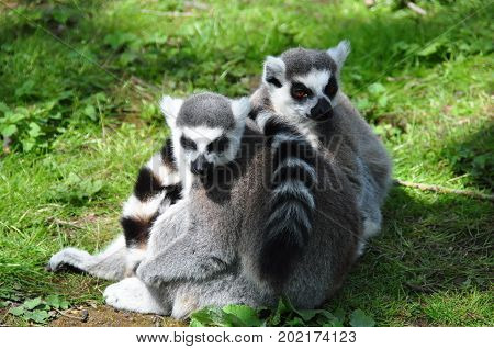A group of ringtail lemurs in the sun