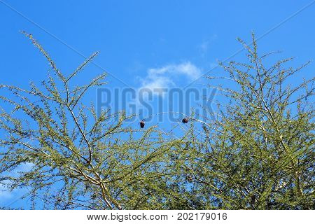 Dry Thorn Tree Branches Against Blue Cloudy Sky