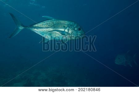 Giant Trevally off a Maldivian Coral Reef