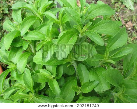 Fresh green stevia leaves in a garden