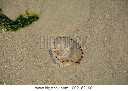 One Jellyfish on the sandy beach .
