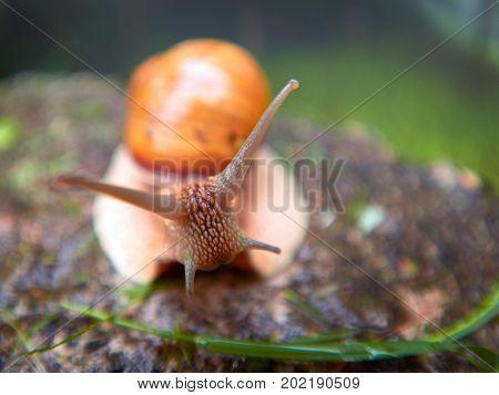 Roman Snail - Helix pomatia