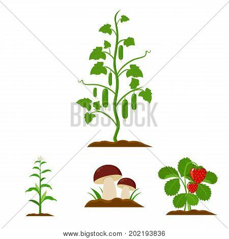 Mushrooms, strawberries, corn, cucumber.Plant set collection icons in cartoon style vector symbol stock illustration .
