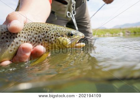 Closeup of brown trout caught in Montana state river
