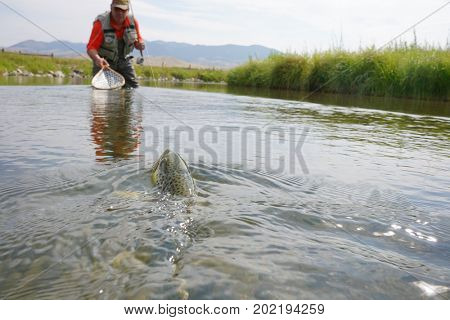 Fly fisherman catching brown trout in river of Montana state