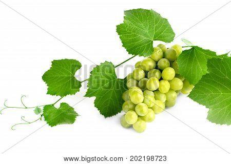 Fresh harvest on a vine of juicy grapes on a white background