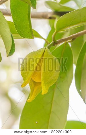 Flower of soursop or prickly custard apple or durian belanda or guanabanas (Annona muricata L.)