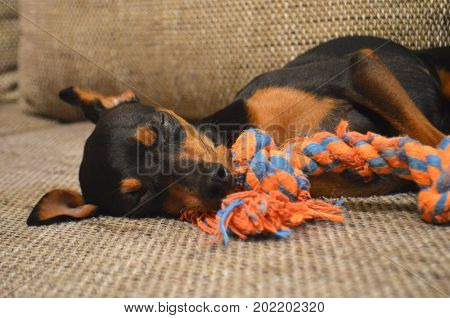 German miniature pinscher pet dog sitting on a sofa with a toy