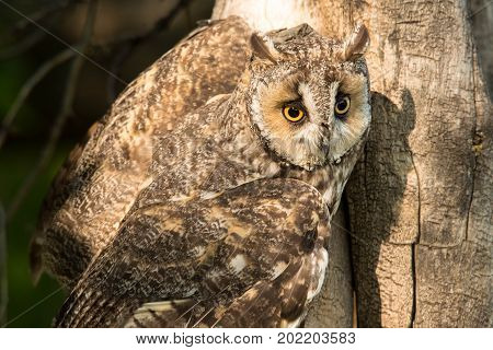 Great horned owl with yellow eyes has landed in old tree in morning
