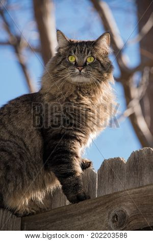 Tabby cat with yellow eyes sitting on wooden fence in early morning