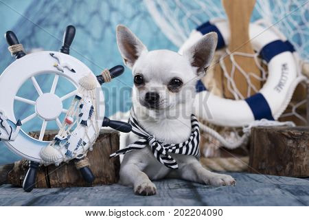 chihuahua and sea decorations