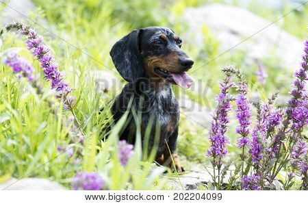 dachshund in the green grass