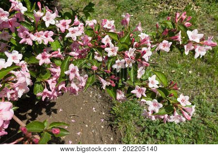 Branch Of Weigela Covered With Pink Flowers