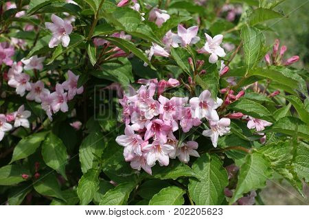 Five Lobed Pink Flowers Of Weigela Florida